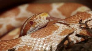 Corn Snake runner up
