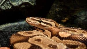 ball python supplies