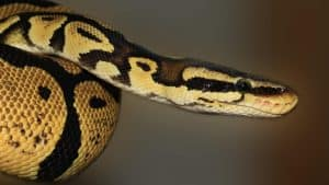 ball python care guide snake