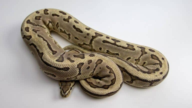 ball python color morph