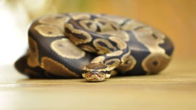 The ONLY Ball Python Care Guide Needed!