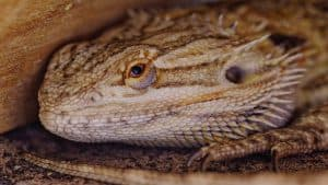 bearded dragon kids pet