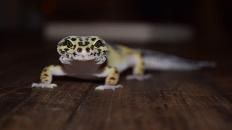 The ONLY Leopard Gecko Care Guide Needed!