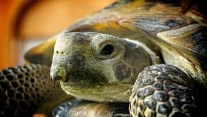 russian tortoise pet