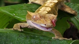 crested gecko licking eye