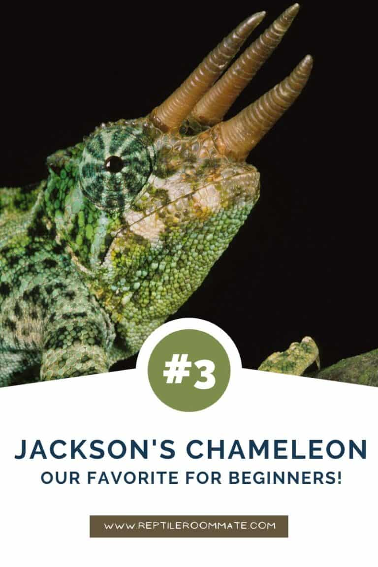 jacksons chameleon beginner