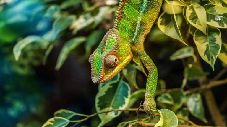 panther chameleon tree