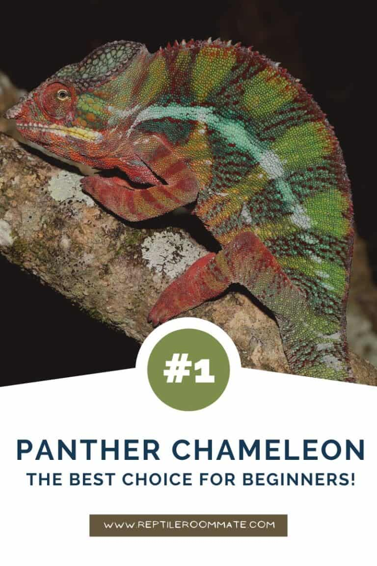 panther chameleon beginner