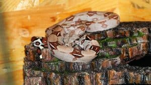 red tail boa lighting
