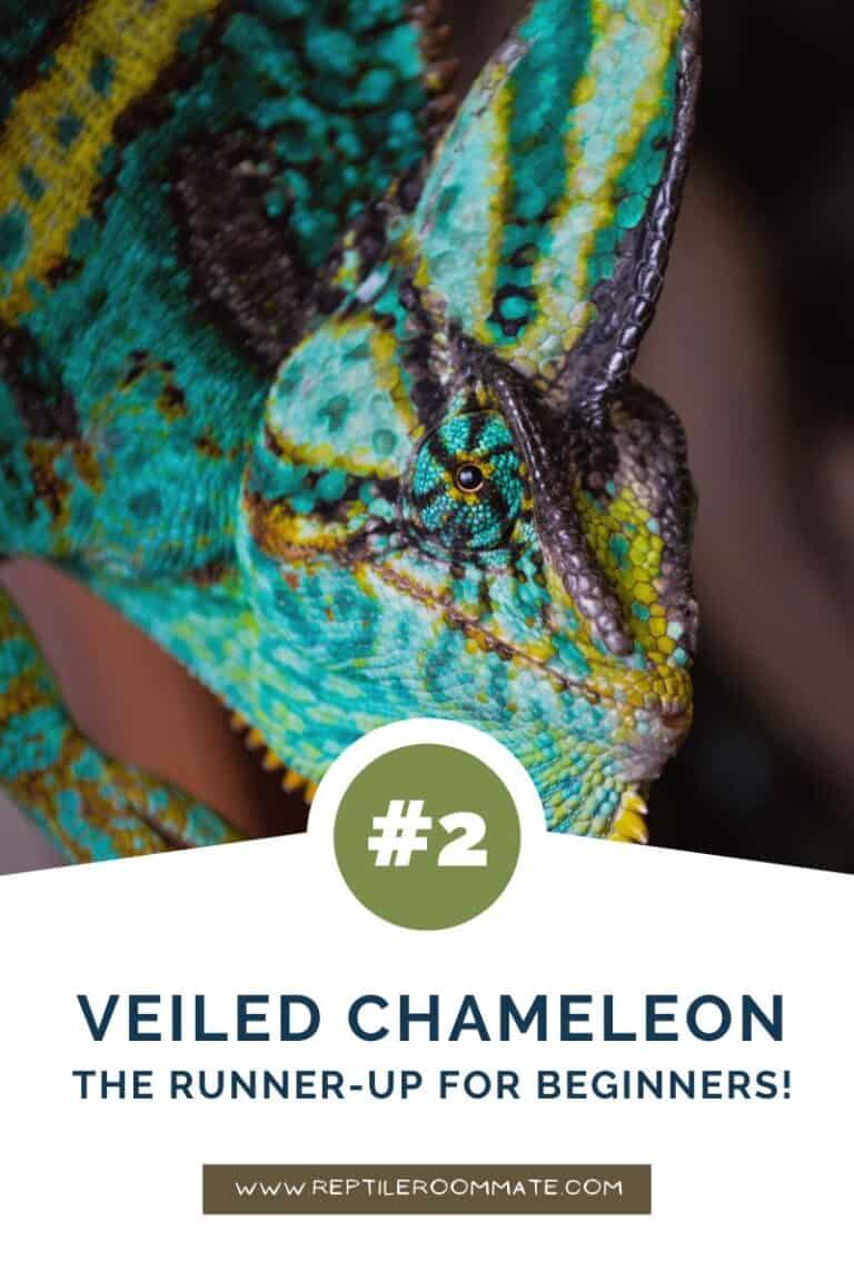 veiled chameleon beginner