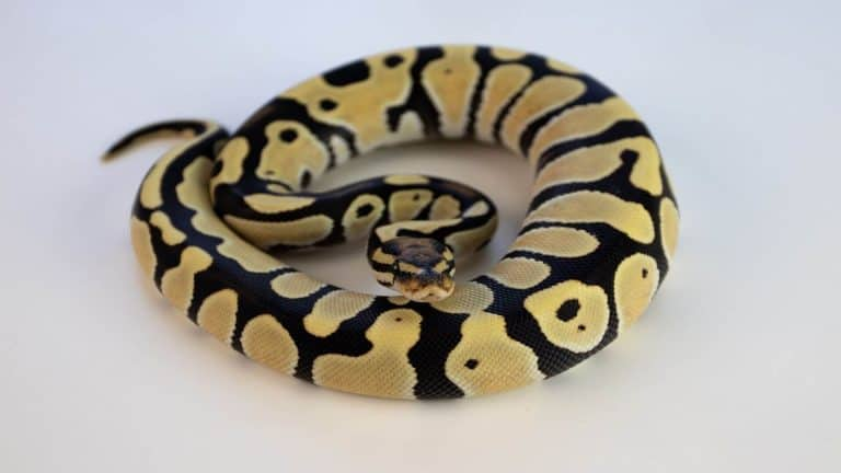 Are Snakes Good Pets for Beginners?