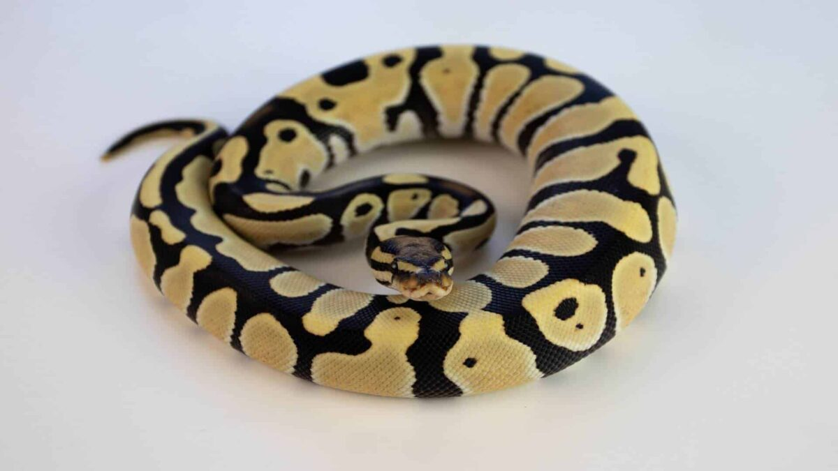 are snakes good pets for beginners