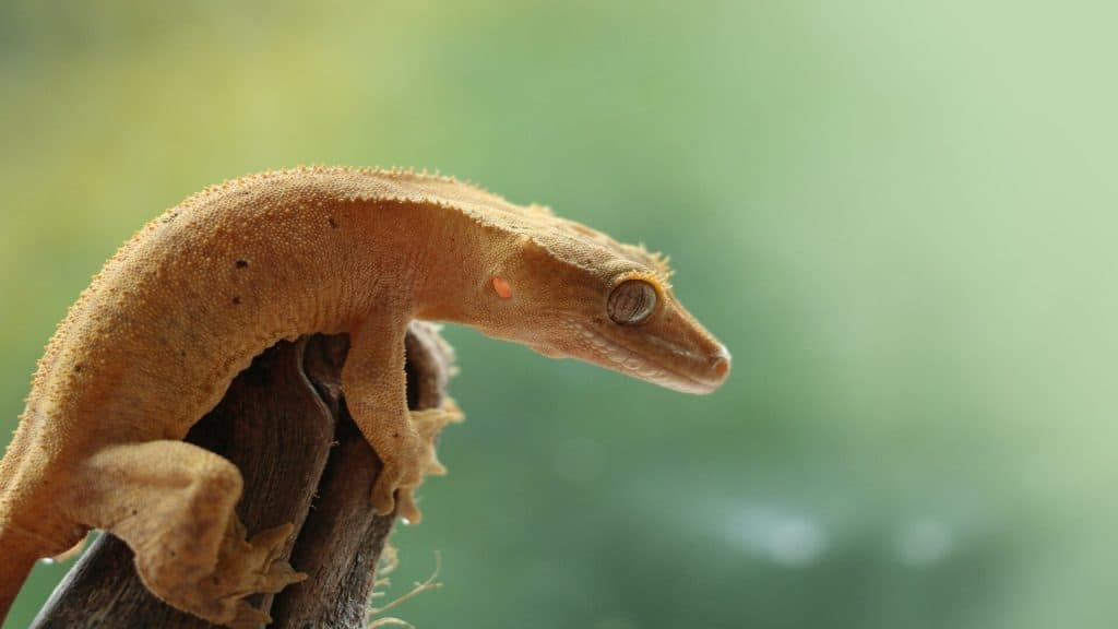Crested gecko left