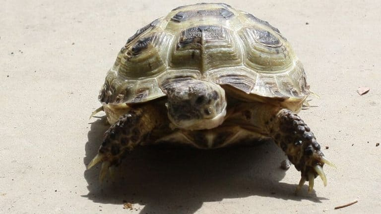 The ONLY Russian Tortoise Care Guide Needed!