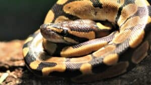 ball pythons don't bite