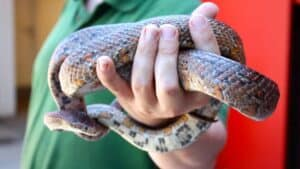 are pet snakes safe