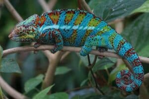 panther chameleon cost