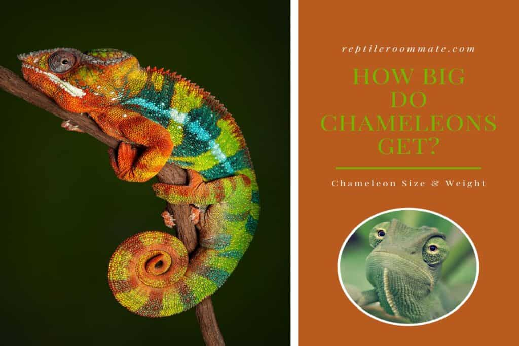 How Big Do Chameleons Get Cover