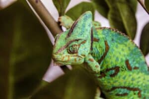 Clean a chameleon cage