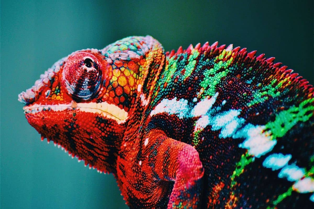 are chameleons good pets for beginners